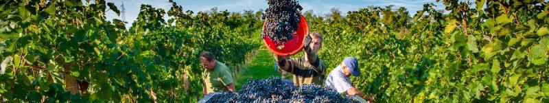 Cum devii cel mai bun viticultor